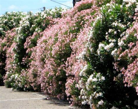 Arbuste Fleuri Feuillage Persistant by Haie Fleurie Et Persistante Quels Arbustes Pour Haies