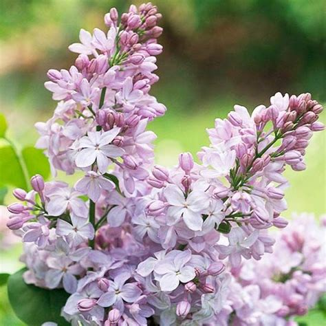 best fragrant flowers for the northeast gardens