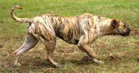 Mastin Plus Isi 30 de chiensdepurerace page 8 toutes les races de