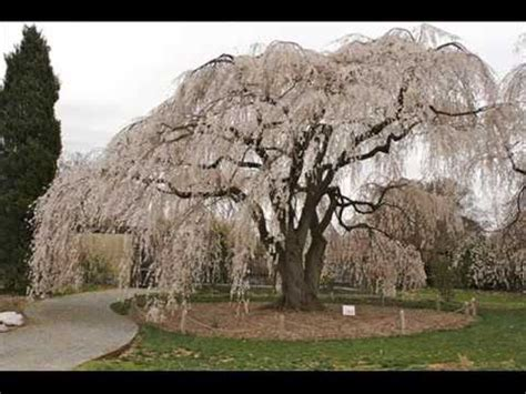 small white trees for sale weeping cherry tree pictures with folwers