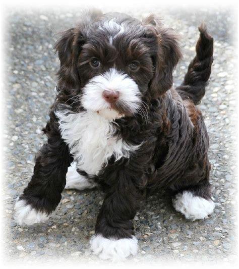 australian labradoodle puppy australian labradoodle puppy my guys