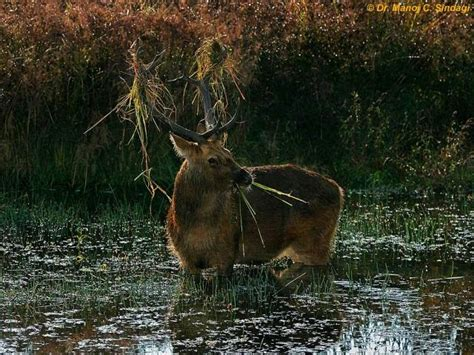 picture collection swamp deer pics