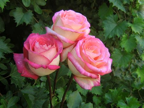 rose s akpicture beautiful roses