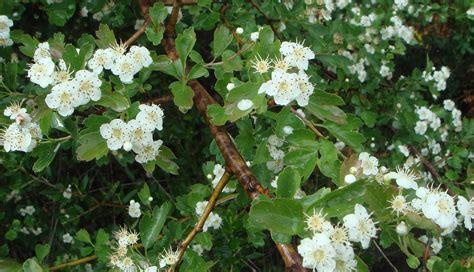 fiori di biancospino biancospino gocce dalla natura una cura alternativa allo