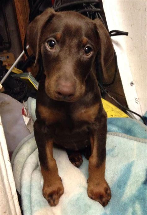 doberman puppies colorado chocolate doberman puppy 15 weeks goole east of pets4homes