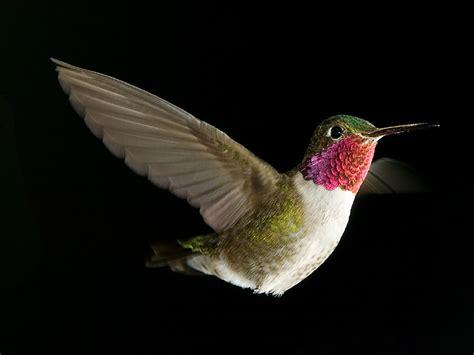 colibr fondos de pantalla 1920x1200 432 free hummingbird desktop wallpaper wallpapersafari