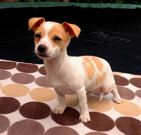 teacup puppies for sale in colorado micro teacup puppies for sale jackuhuahua for sale