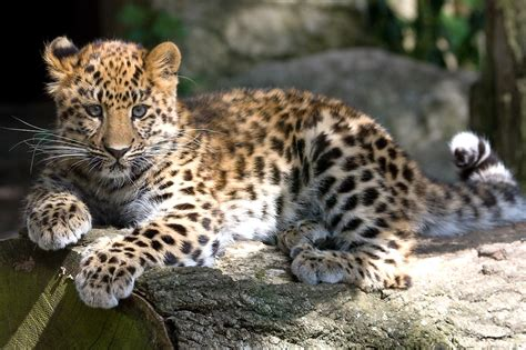 amur leopard the life of animals