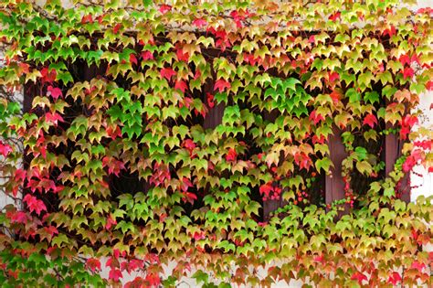 different types of climbing plants window autumn clambering plant images frompo