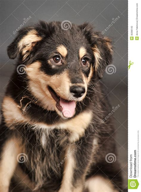Black And Brown Black And Brown Puppy Stock Photos Image 35396143