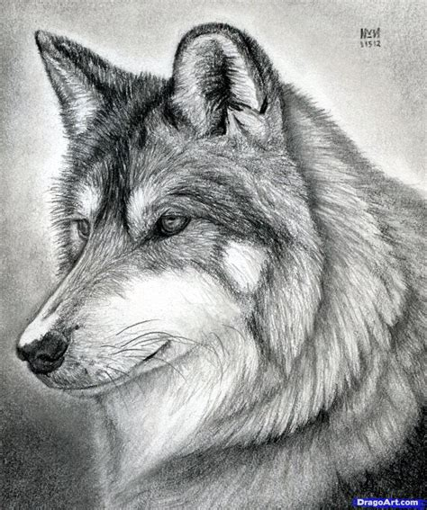 wolves drawings how to draw a wolf mexican wolf step by step