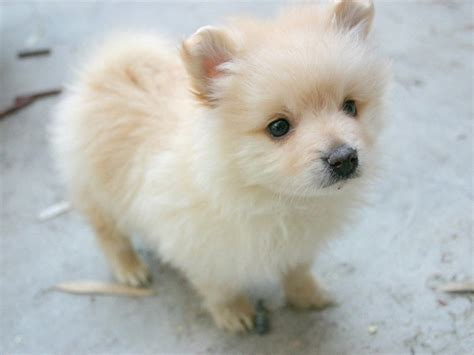 pomeranian puppy names 10 best pomeranian names