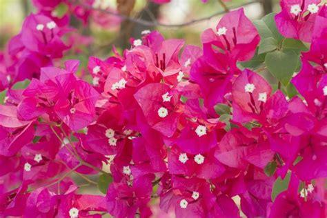 bouganville in vaso bouganville come coltivarle quando piantarle e potarle