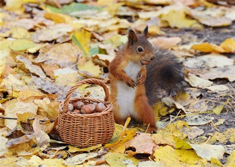 animal seasons squirrels autumn 1848358784 tapety listy zvěř př 237 roda koš 237 ky žlut 253 volně žij 237 c 237 ch živočichů křeček žaludů hlodavec