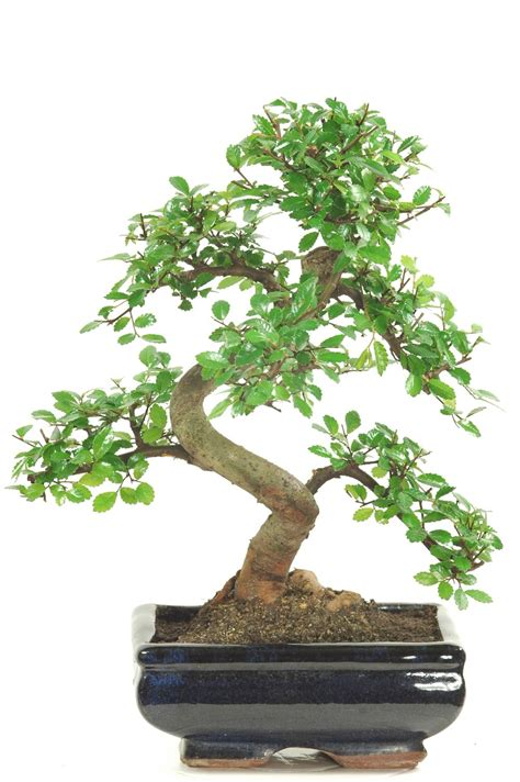 indoor bonsai for beginners tasteful chinese elm indoor bonsai tree kit for beginners