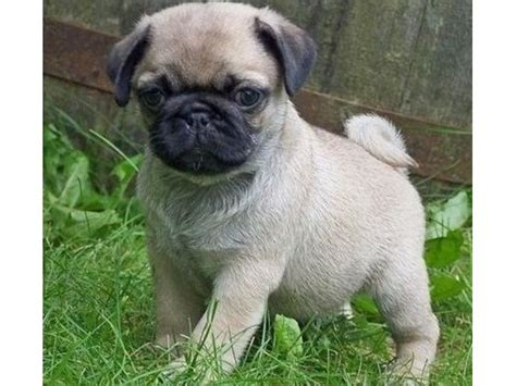 pugs for sale in nebraska beautifull and pug puppies for sale animals beaver city nebraska