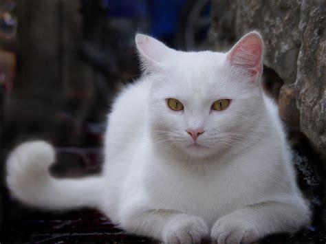 the white cat and white cat pixdaus