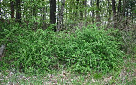 escape   invasives top  invasive plant species