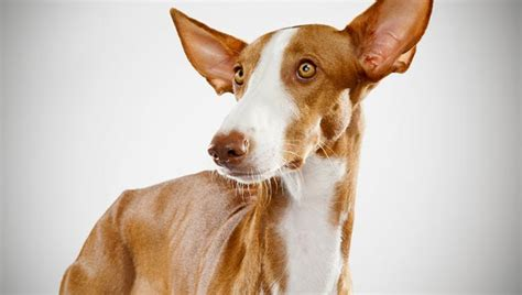 ibizan hound puppies ibizan hound history personality appearance health and pictures