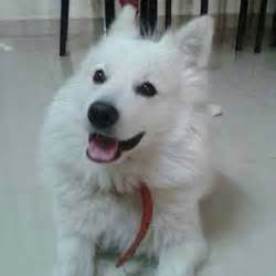 pomeranian puppies for free adoption in chennai dogs india all about dogs breeders breeds indian breeds and info related to dogs
