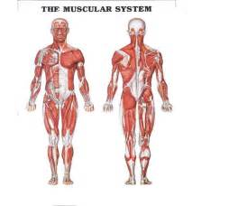 Report Template For Musculoskeletal System Image Gallery Template