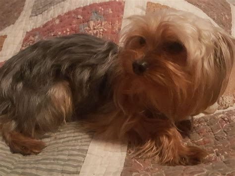 do yorkies dew claws valerie brown terrier puppies for sale