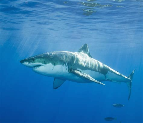 great white shark curiousppl