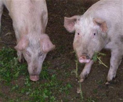 animali da cortile gratis suini animali da cortile e stalla annunci animali