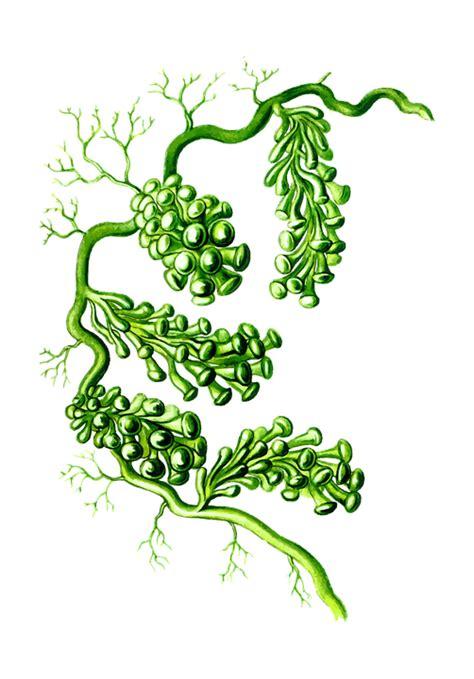 Anggur Laut free vector graphic alga algae marine plant free image on pixabay 1299962