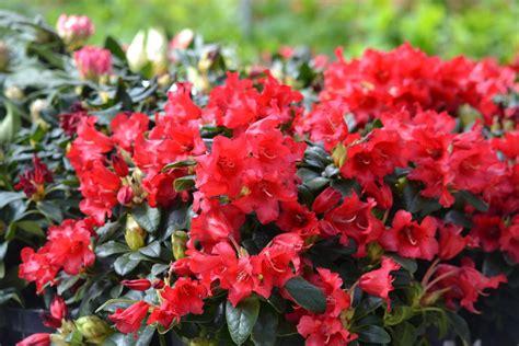 Plante Grimpante Pousse Rapide by Plante Pousse Rapide Le Cissus Rhombifolia Est Une Plante