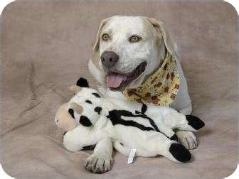 puppies for adoption fort worth 18 best images about dogs on american pit american staffordshire terriers