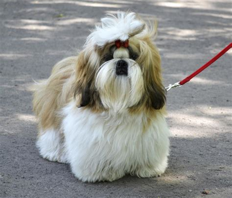 shih tzu guard a list of phenomenally popular breeds that originated in china