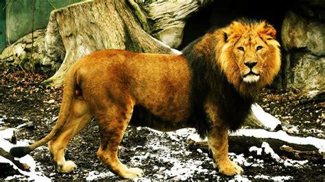 imagenes de animales leon sonido de le 243 n sonidos de animales youtube