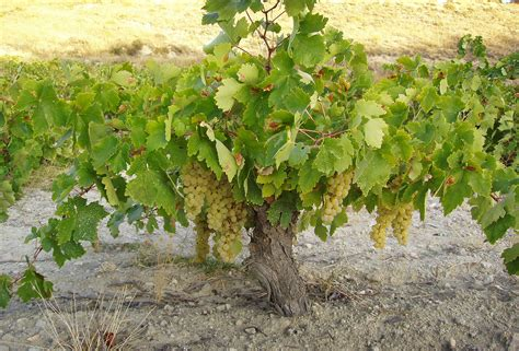 Of The Vine by The True Vine 15 1 3 Reflect Receive Relate