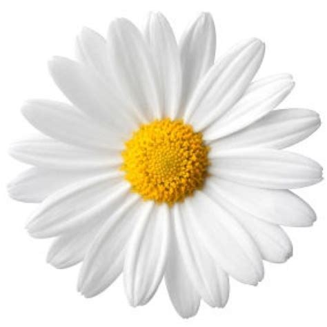 daisy flower daisy flower part 1 weneedfun