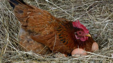what are the best backyard egg laying chickens the best egg laying chickens for your homestead homesteading