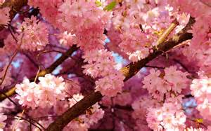 flowers nature blooming trees branches pink flowers wallpaper