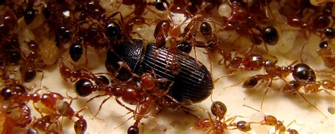 imagenes de hormigas rojas hormigas rojas caracter 237 sticas qu 233 come d 243 nde vive