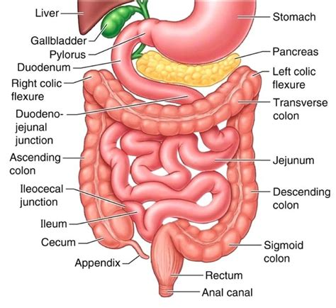 upper section of the small intestine the small intestine part 4 of the 5 phases of digestion