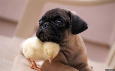how can pugs live pug and are best friends