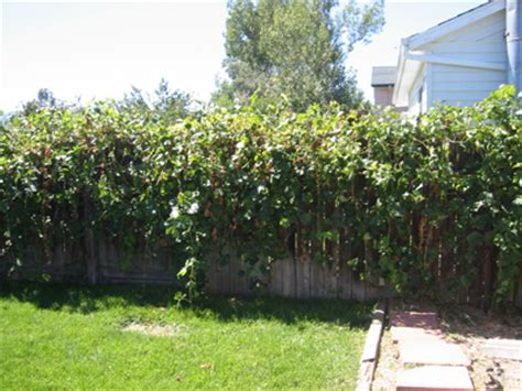 Backyard Grape Vine by Hubrents Provides Clean Safe Comfortable And Affordable