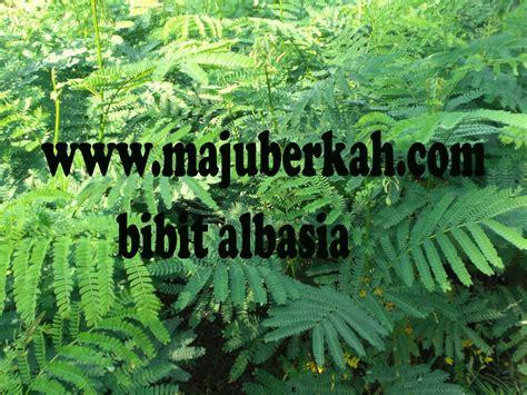 Bibit Sengon Albasia bibit sengon bibit tanaman sengon jual bibit sengon bibit