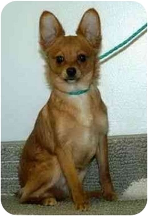 pinscher pomeranian mix dusty adopted puppy 126 hamilton oh pomeranian miniature pinscher mix