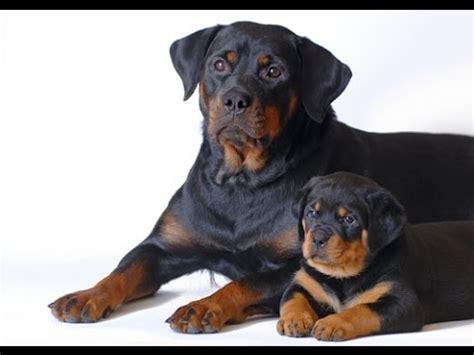 what breeds make a rottweiler rottweiler breed