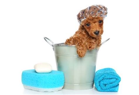 how often should you bathe a puppy how often should you bathe your scarlet s fancy poodles