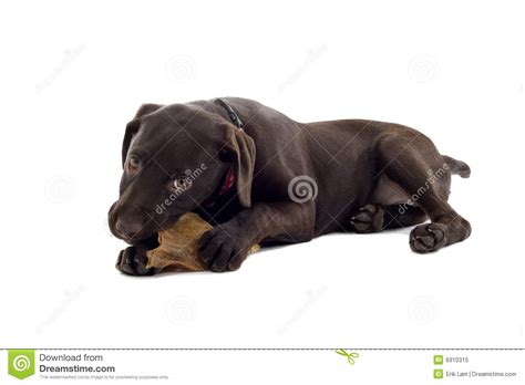 best chew toys for lab puppies black labrador retriever puppy 3 months isolated on white breeds picture