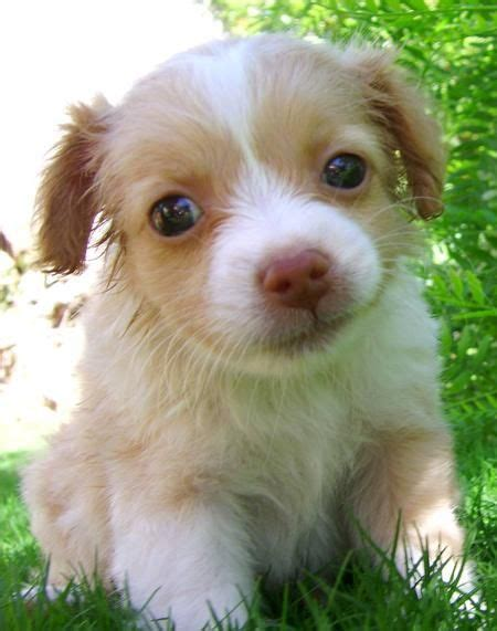pomeranian labrador mix pomeranian mixed with lab www imgkid the image kid has it