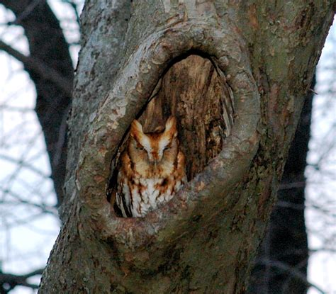 eastern screech owl facts habitat diet life cycle baby