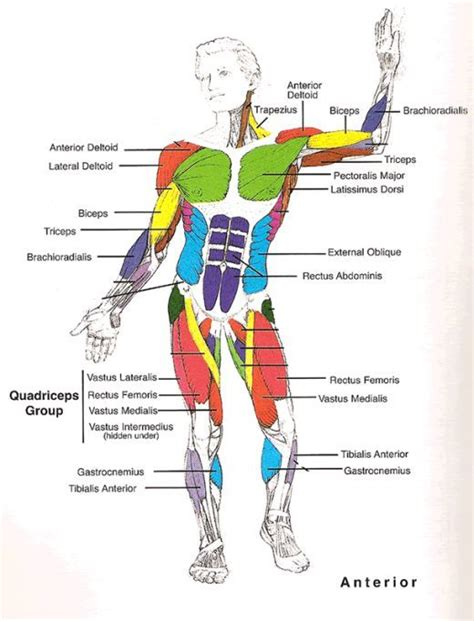 muscles diagram muscles diagrams diagram of muscles and anatomy charts