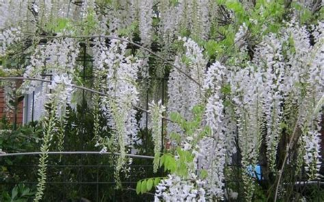 buy snow showers wisteria 3 gallon vines for part